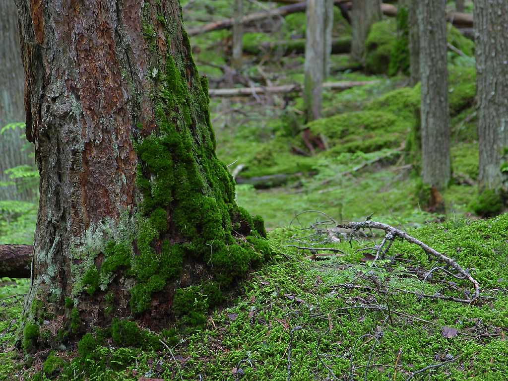 Free Stock Photo of Climbing Moss - Forest - Landscapes